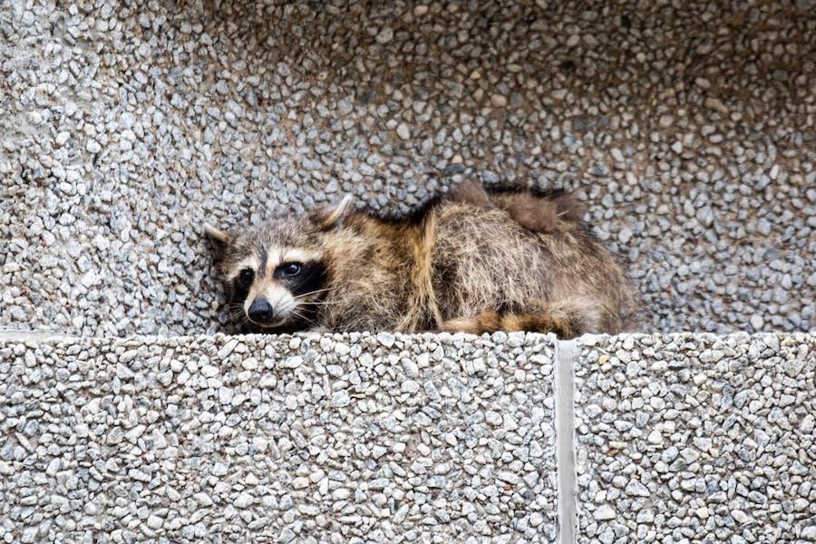 SOM St Paul Raccoon